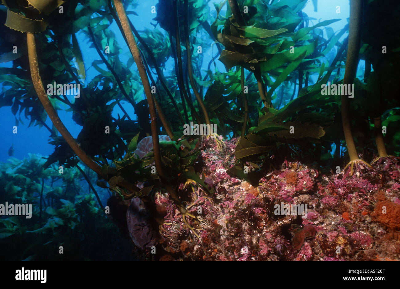 Rocky reef with encrusting organisms Underwater forest of kelp Ecklonia radiata Mayor Island New Zealand Depth 15 - Stock Image