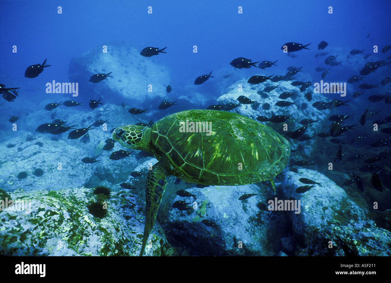 Green sea turtle Chelonia mydas swimming over rocky reef School of Demoiselle fish Raoul Is Kermadec Islands New - Stock Image