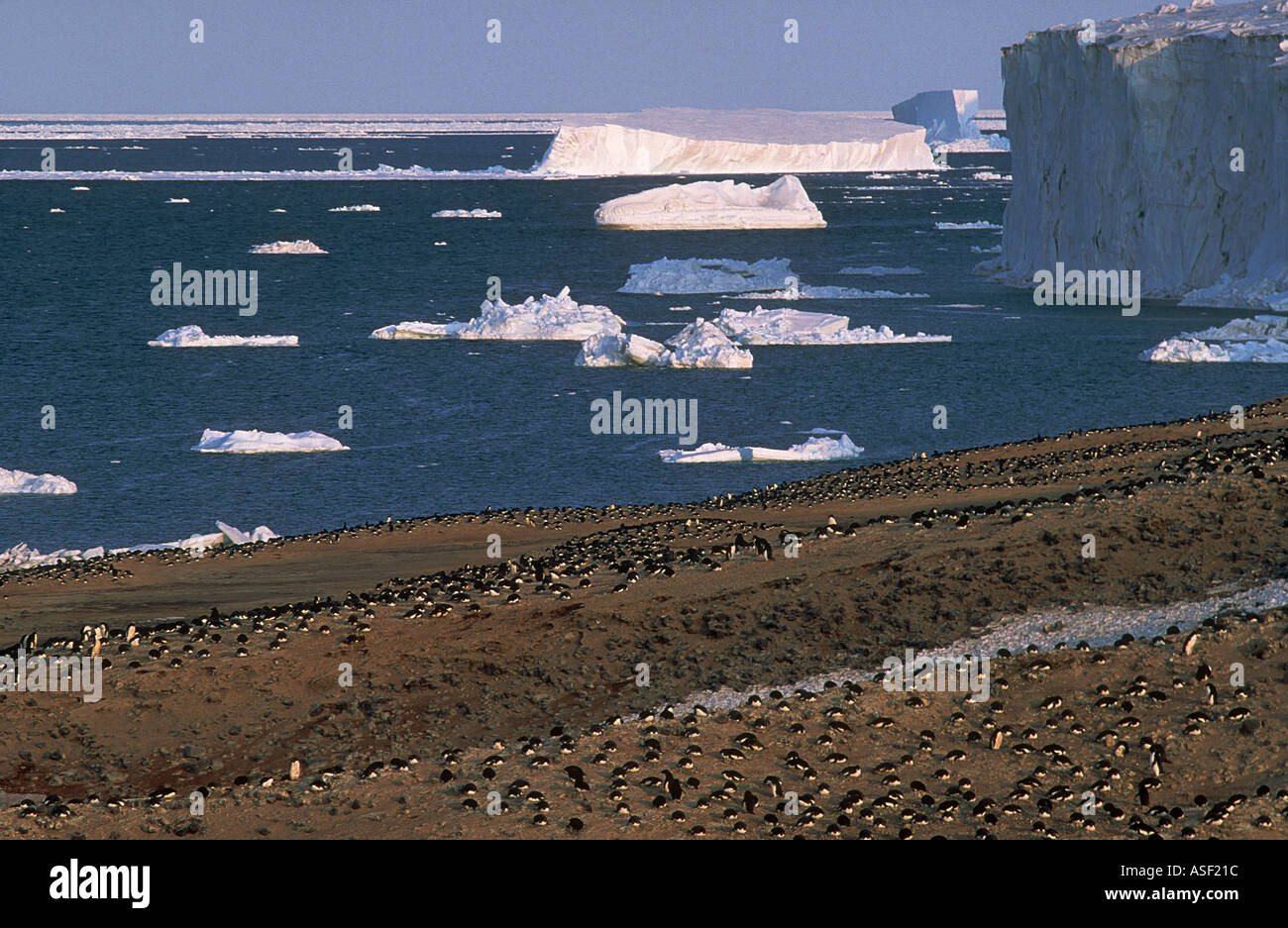 Quintessential Antarctica Large Adelie penguin colony ice cliffs icebergs sea ice Cape Bird Ross Island Antarctica - Stock Image