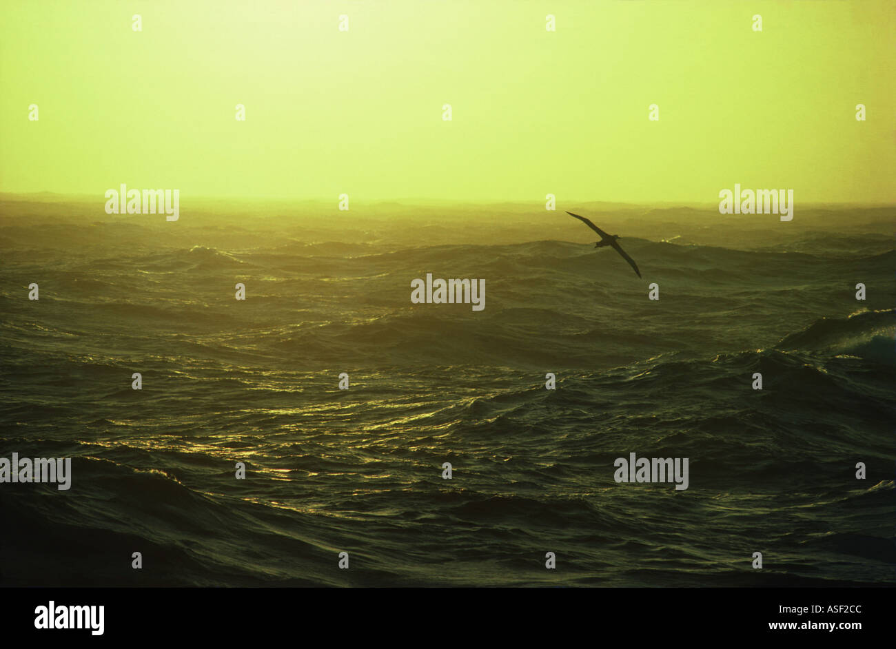Wandering albatross soaring over turbulent seas at dusk Southern Ocean  - Stock Image