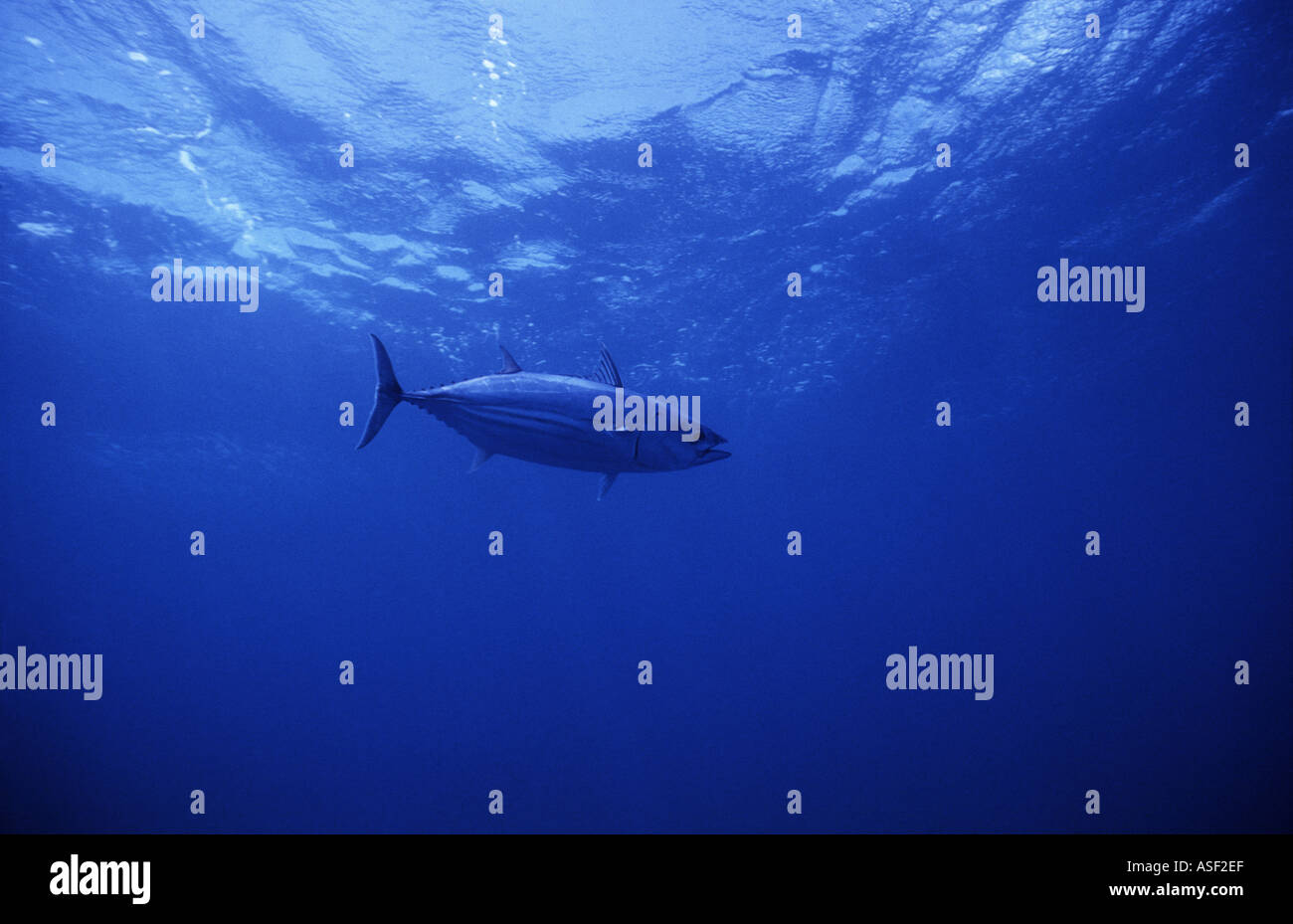 Skipjack tuna Katsuwonus pelamis swimming in clear blue oceanic water Bay of Plenty New Zealand - Stock Image