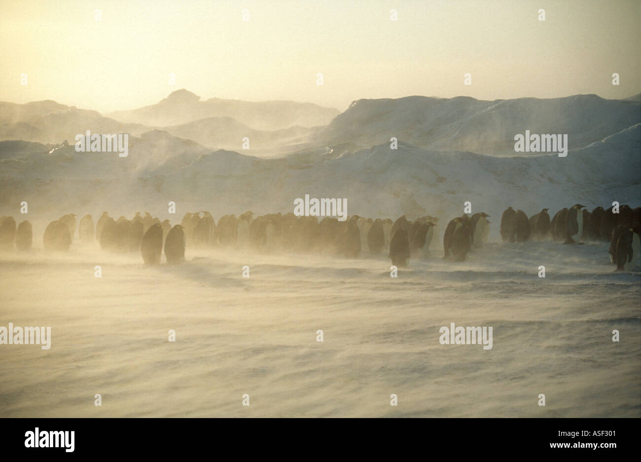 Emperor penguins Aptenodytes forsteri starting to huddle together as blizzard strengthens Cape Crozier Ross Island - Stock Image