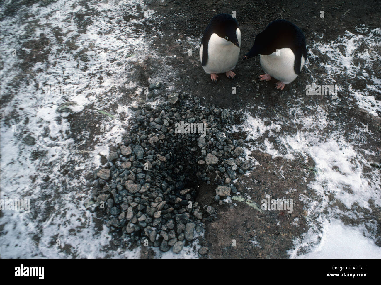 Adelie penguin Pygoscelis adeliae Pair standing beside nest of stones View from above Cape Royds Ross Island Antarctica - Stock Image