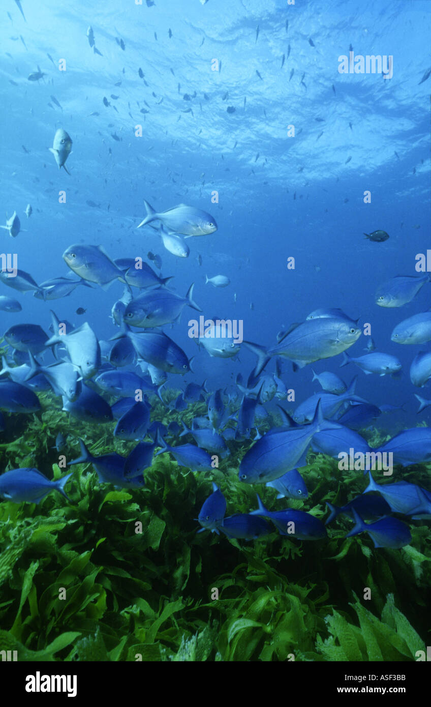 School of fish Blue Maomao swimming over kelp bed Ecklonia radiata in clear blue seawater White Island New Zealand - Stock Image