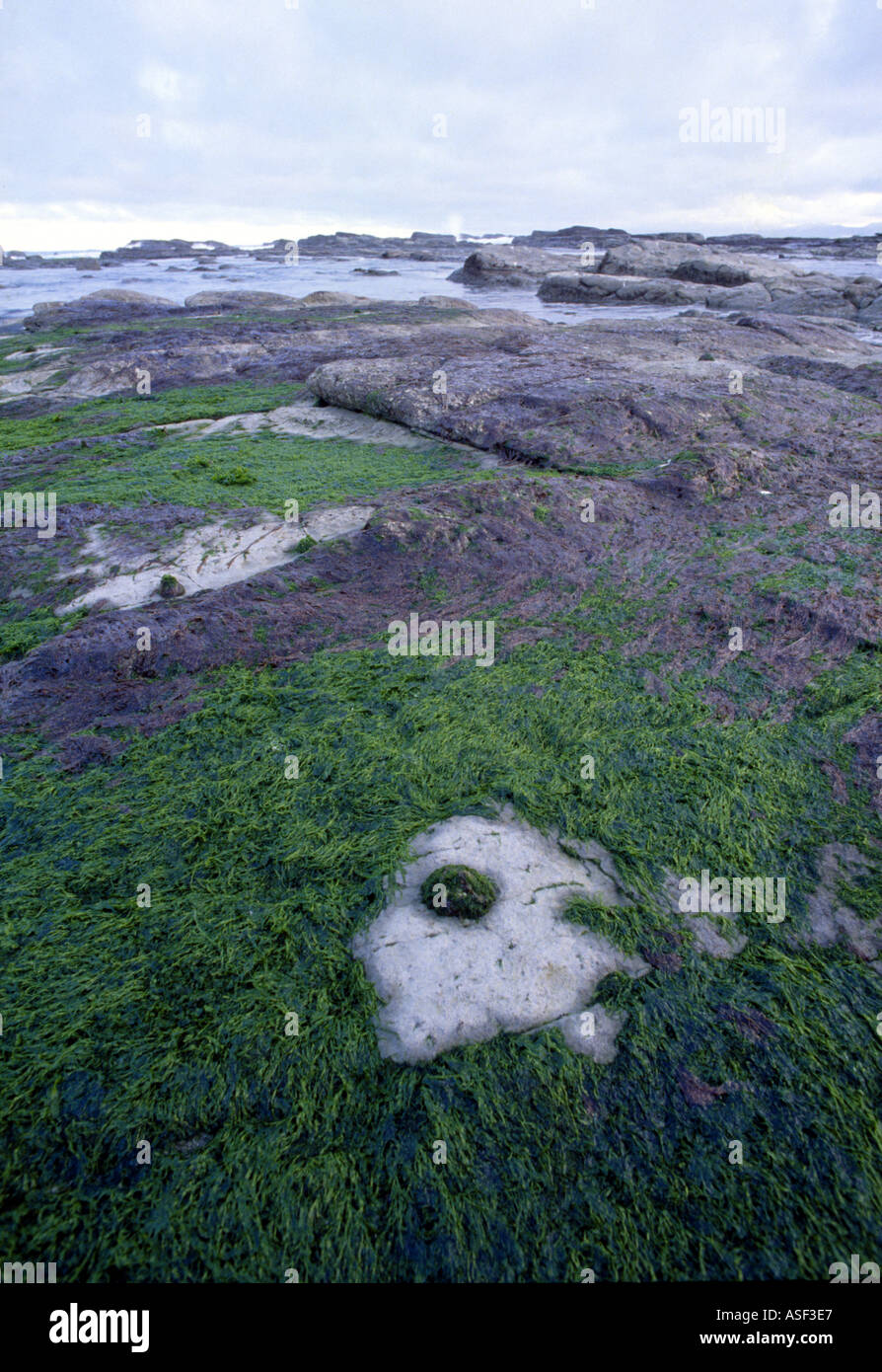 Limpet Cellana radians on flat rocky shore showing its farm the area it keeps clear of seaweed Kaikoura New Zealand - Stock Image