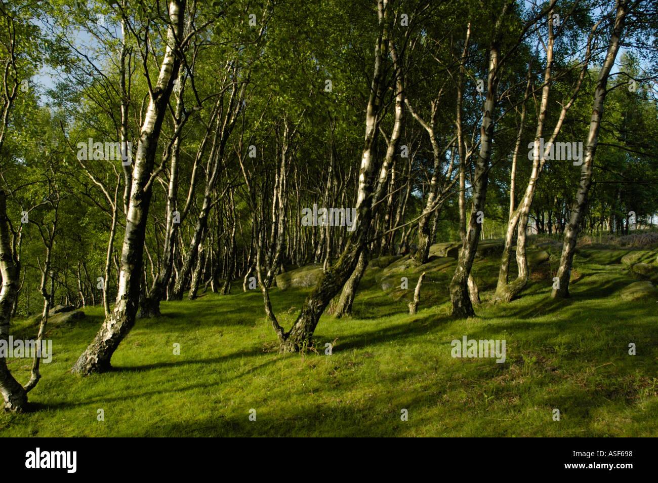 Silver birch trees on Froggatt Edge Derbyshire England - Stock Image