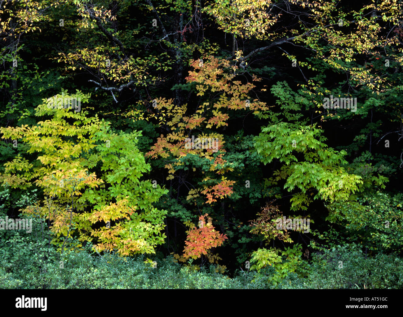 FALL COLORS in New England deciduous FOREST ADIRONDACK PARK UPSTATE ...