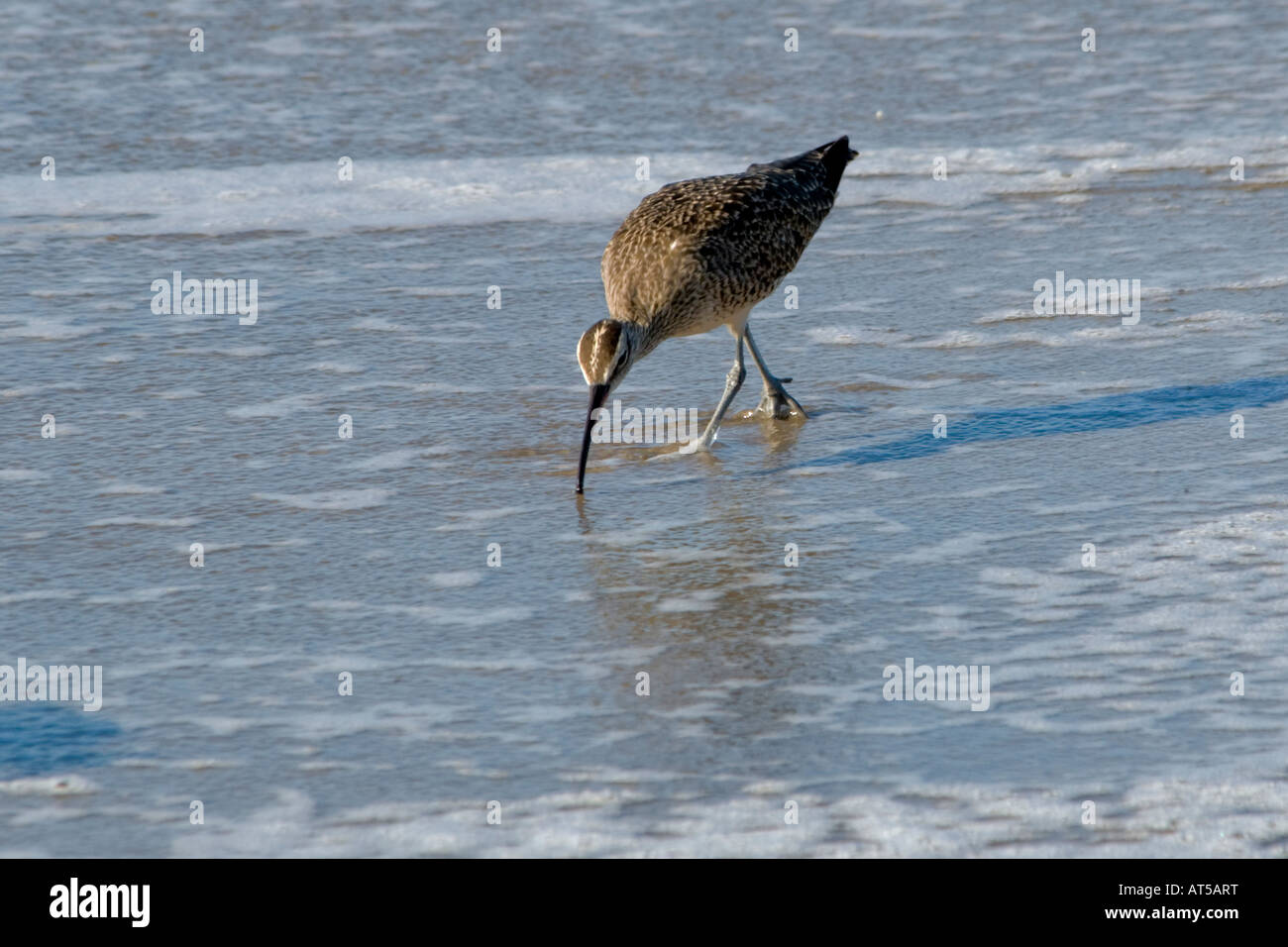 a-whimbrel-numenius-phaeopus-searches-fo