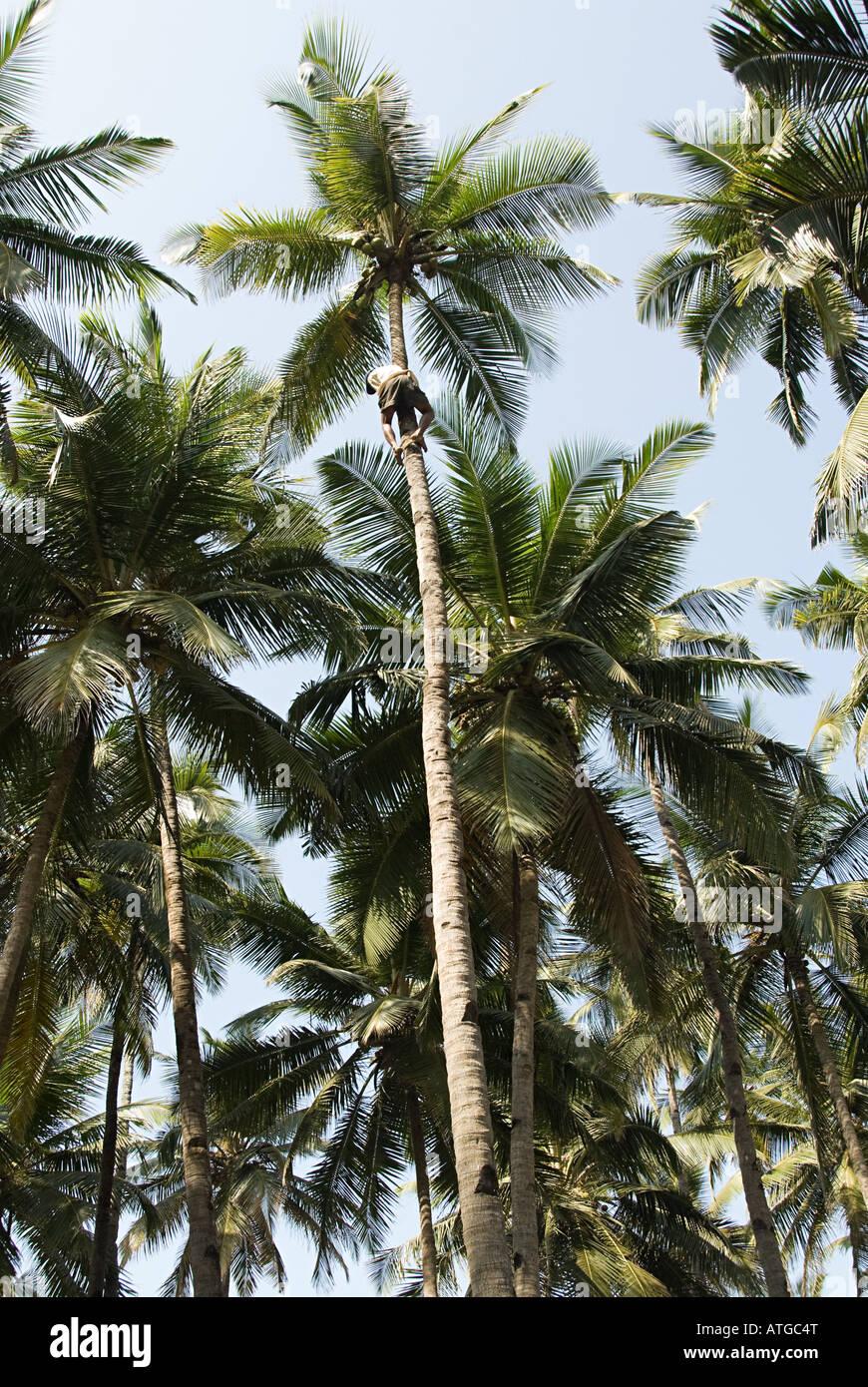 Coconut tree climber - Stock Image