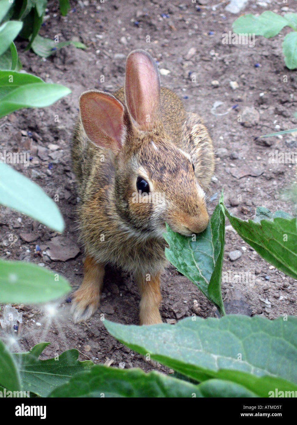 A wild rabbit chews on a plant in an urban allotment vegetable gardenf Stock Photo