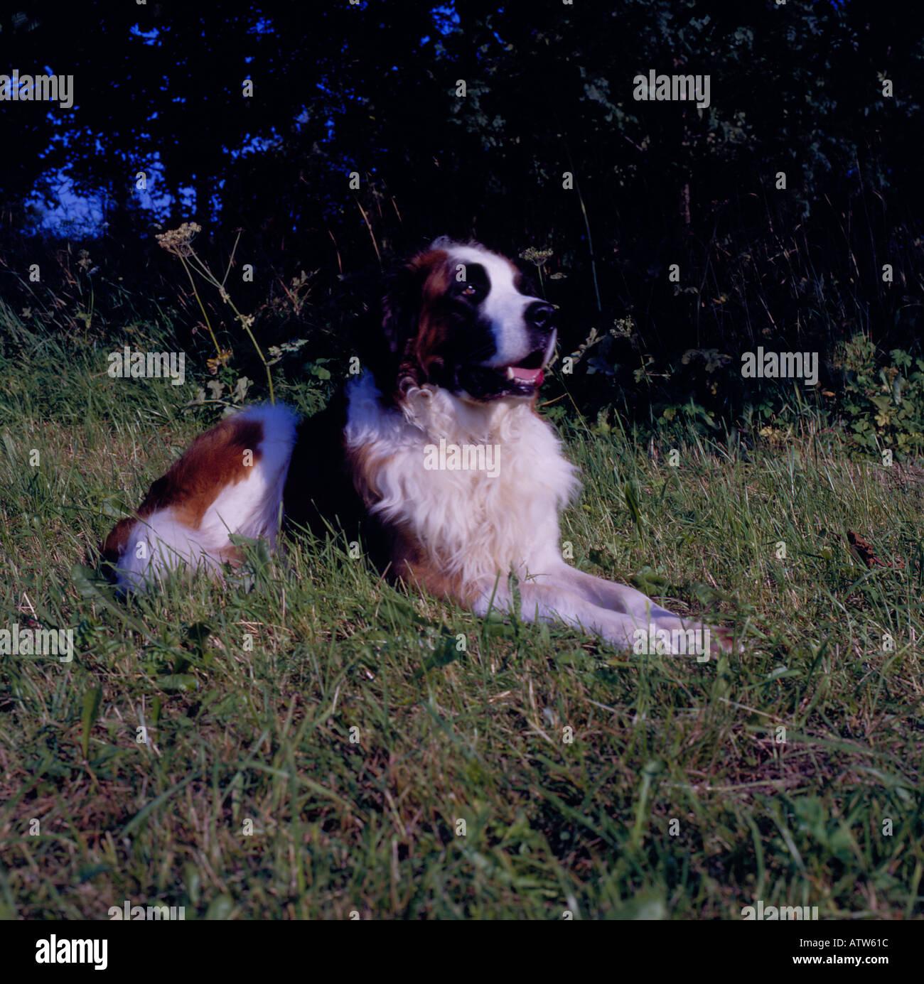 Bernhardiner sitting in grass. Photo by Willy Matheisl - Stock Image