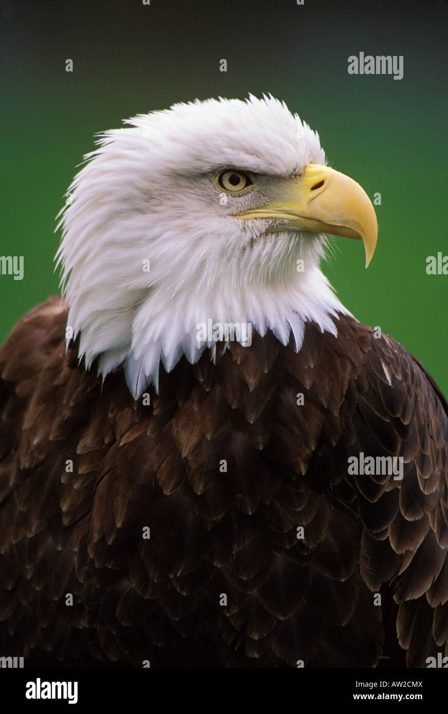 A bald eagle attentively surveys his surroundings - Stock Image