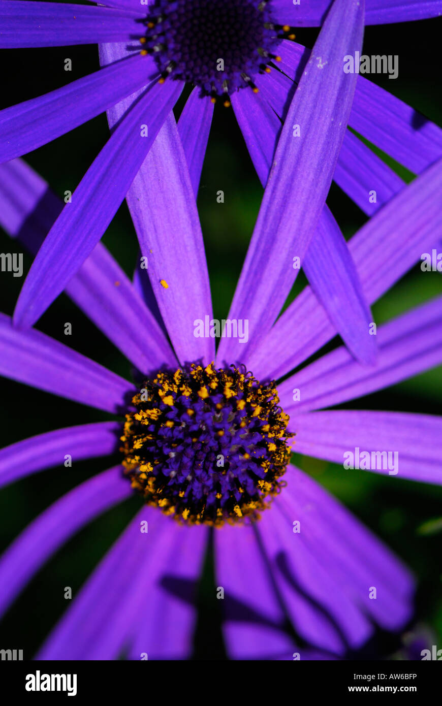 Bluepurple Daisy Like Flower From The Aster Family Called Stock