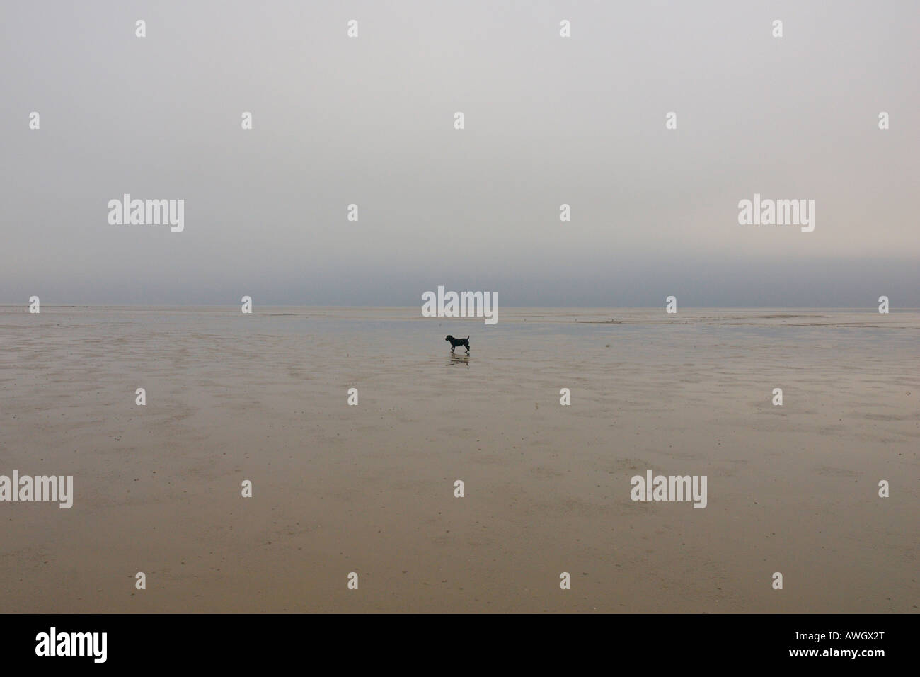 labrador-dog-looking-lost-on-the-sands-of-morecambe-bay-cumbria-england-AWGX2T.jpg