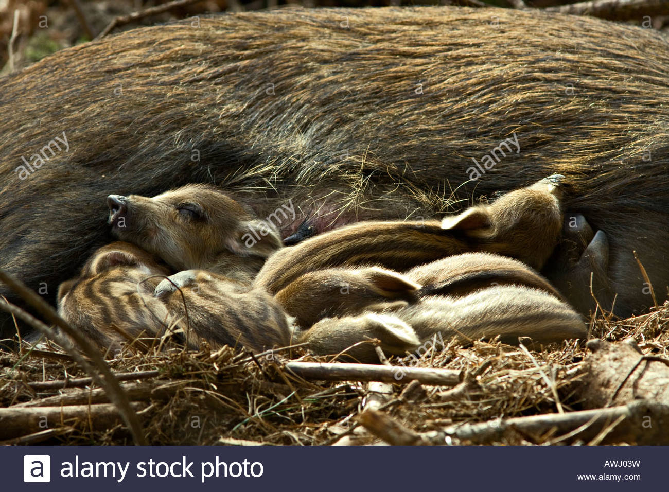 WILD BOAR (Sus scrofa) with new born Piglets in British Woodland - Stock Image