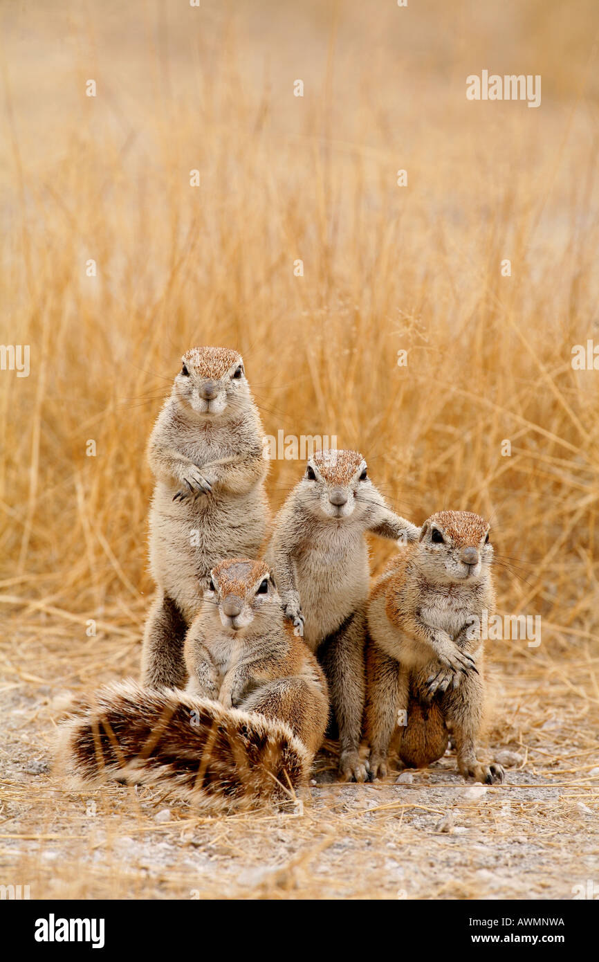 Cape Ground Squirrels Posing for Team Photograph - Stock Image
