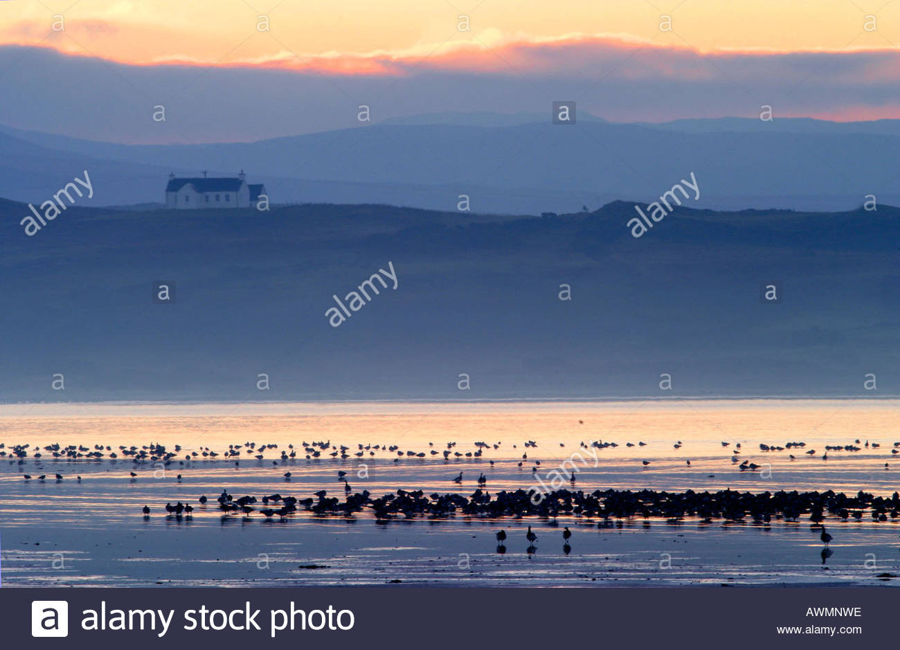 Islay at Dawn with Barnacle Geese in Bay - Stock Image
