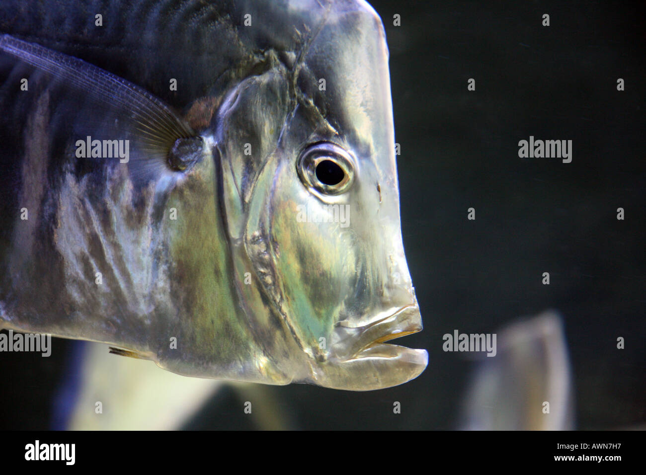 close-up-of-head-of-selene-vomer-gamefish-AWN7H7.jpg
