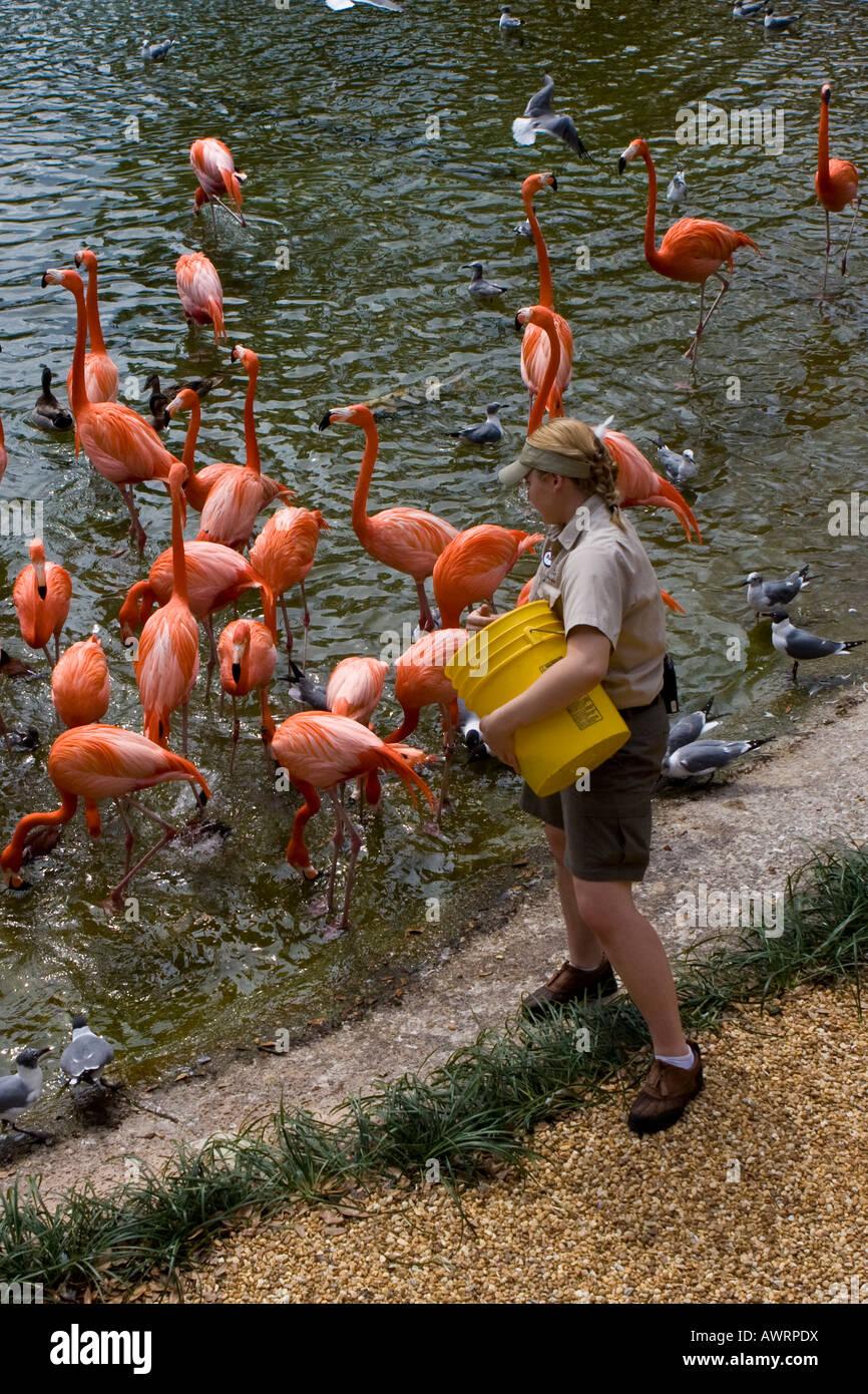 Zoo Technician Feeding Flamingos at Busch Gardens, Tampa Florida USA ...
