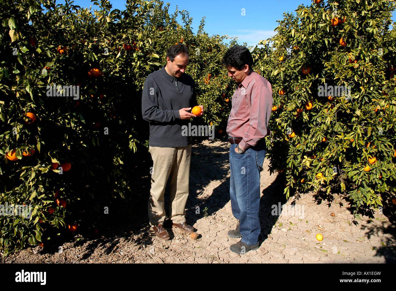 Exporter Fernando Guillem (left) and buyer Ricardo Vazquez during the harvest time at an orange plantation near - Stock Image