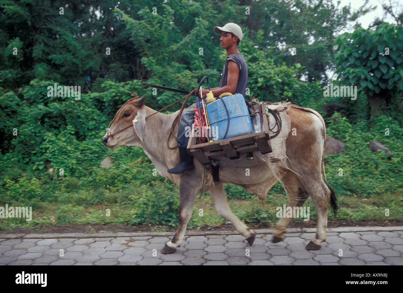 farm-worker-riding-a-domesticated-brahma