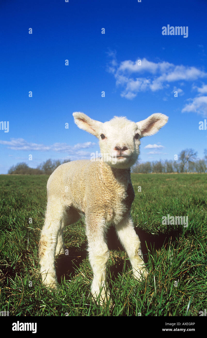 Domestic sheep. Single lamb standing on a meadow - Stock Image