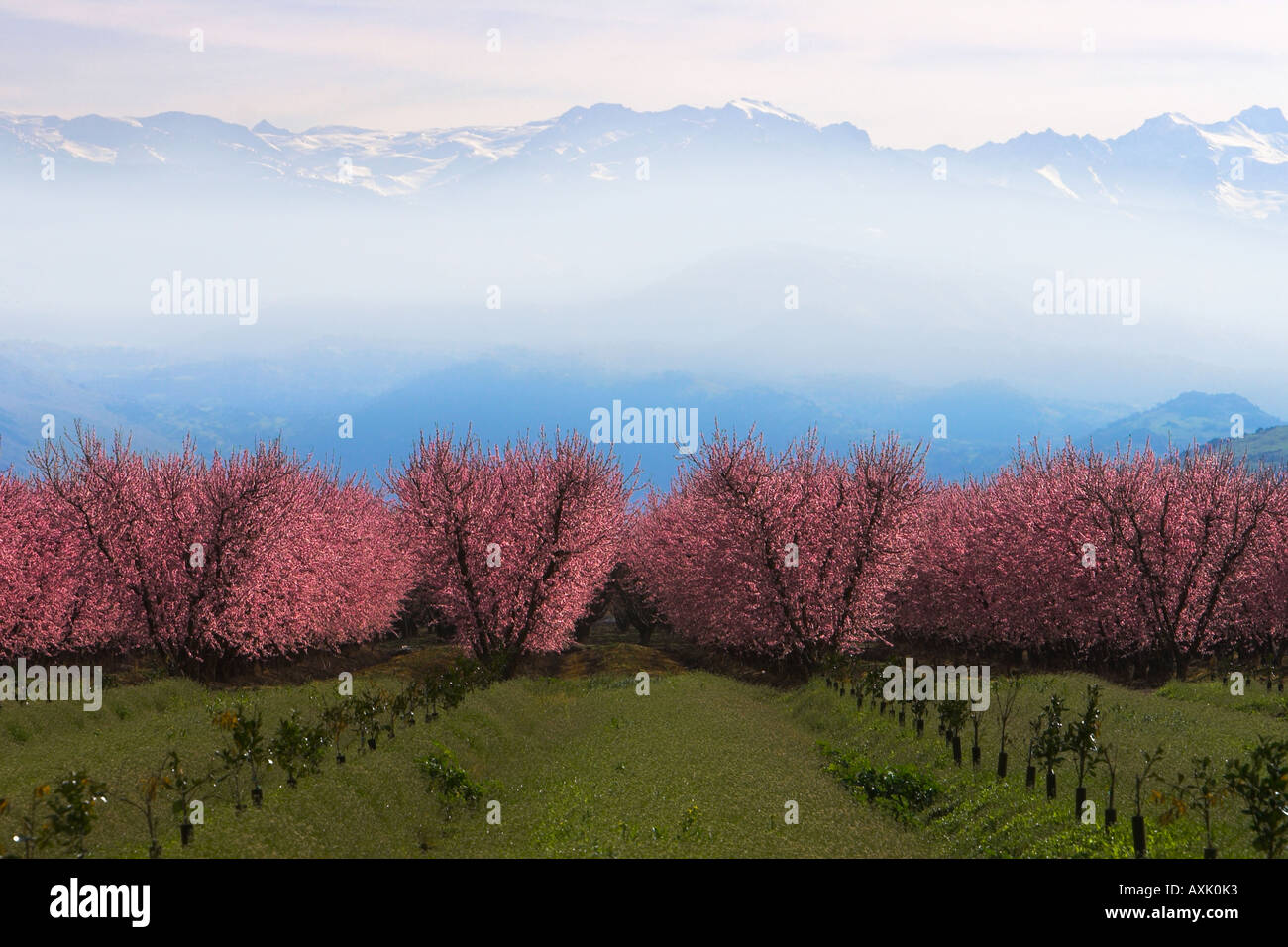 rows growing plants cherry blossom trees branches flowers buds season sky blue pink green montains snow haze - Stock Image