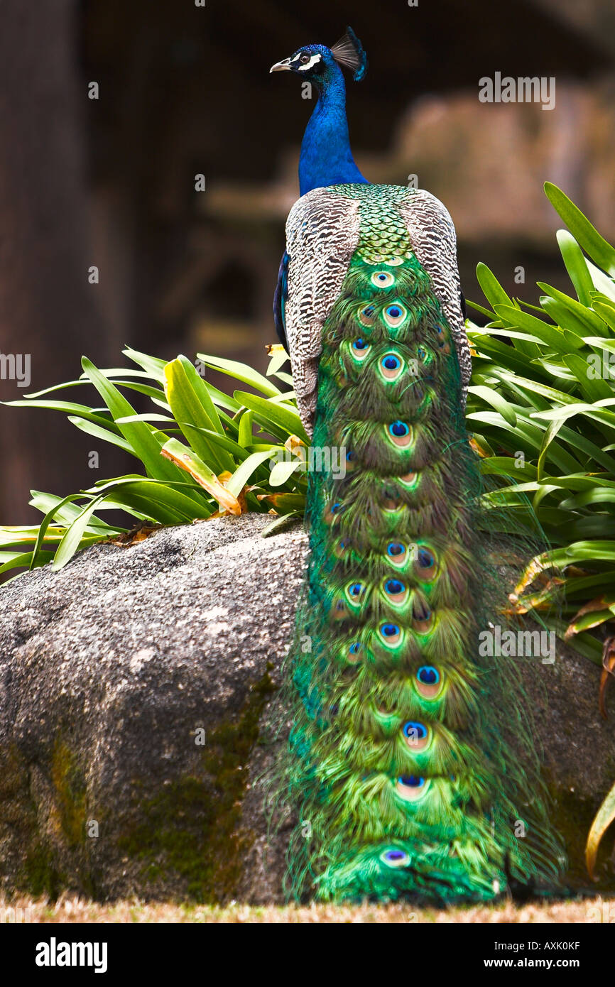 peacock natural beautiful feathers for attraction standing pearched on rock with plants in nature blue head beak - Stock Image