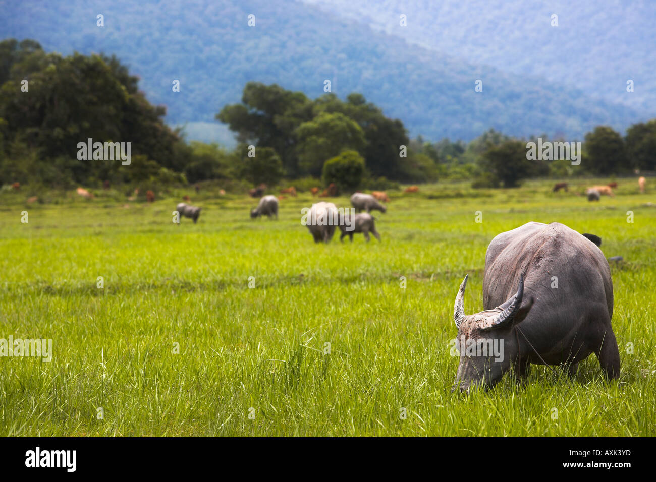 animals horns tail graze romaing country landscape nature eat flock mountains green brown grey white - Stock Image