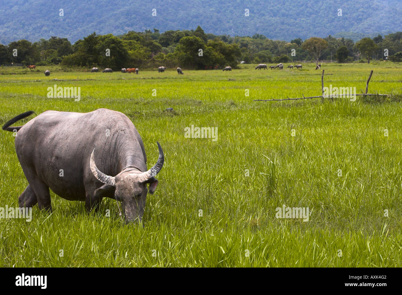 water buffalo animals horns tail graze romaing country landscape nature eat flock mountains green brown grey whit - Stock Image