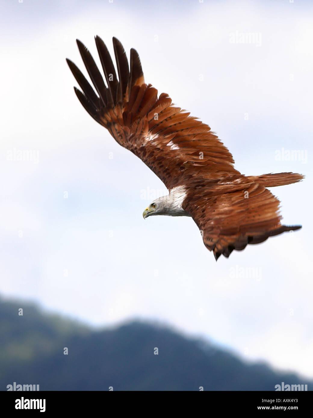 Eagle Brahminy Kite Langkawi Malaysia animal body bird wings span spread beak eye feathers high up in sky flying - Stock Image