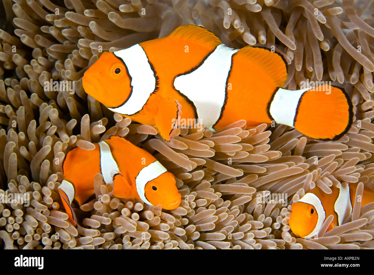 a-family-of-three-clown-anemonefish-amphiprion-percula-living-in-a-AXPB2N.jpg