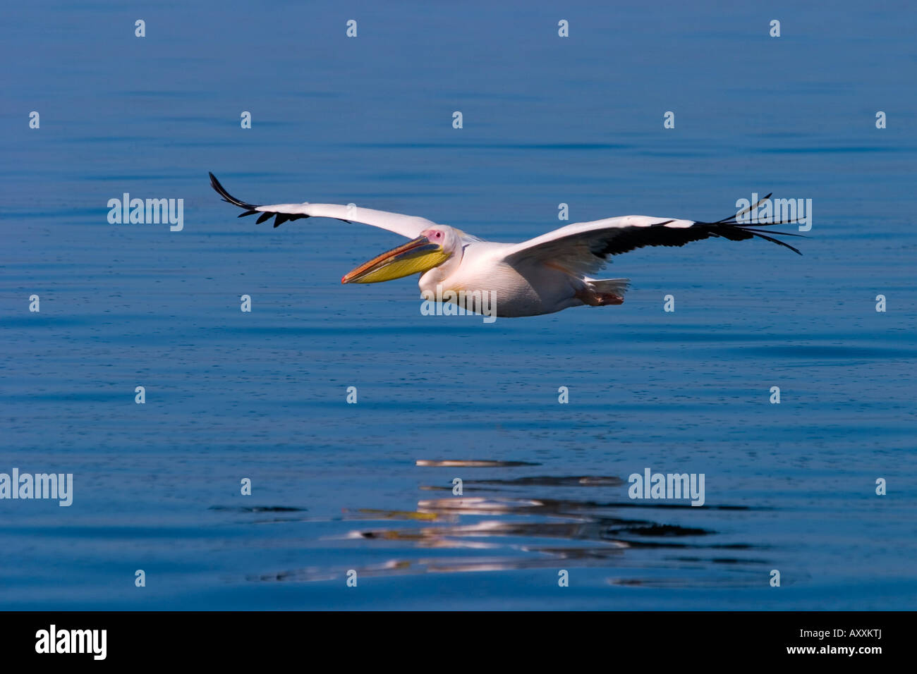White Pelican, (Pelecanus onocrotalus), Walfish Bay, West Coast, Namibia - Stock Image