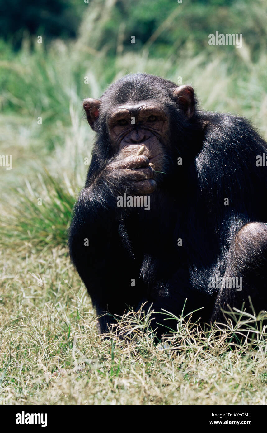 Chimpanzee (Pan troglodytes) in captivity, Uganda Wildlife Education Centre, Ngamba Island, Uganda, East Africa, - Stock Image