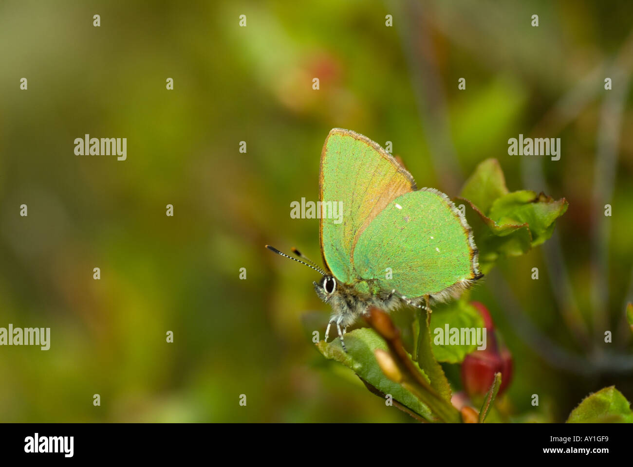 green-hairstreak-callophrys-rubi-AY1GF9.
