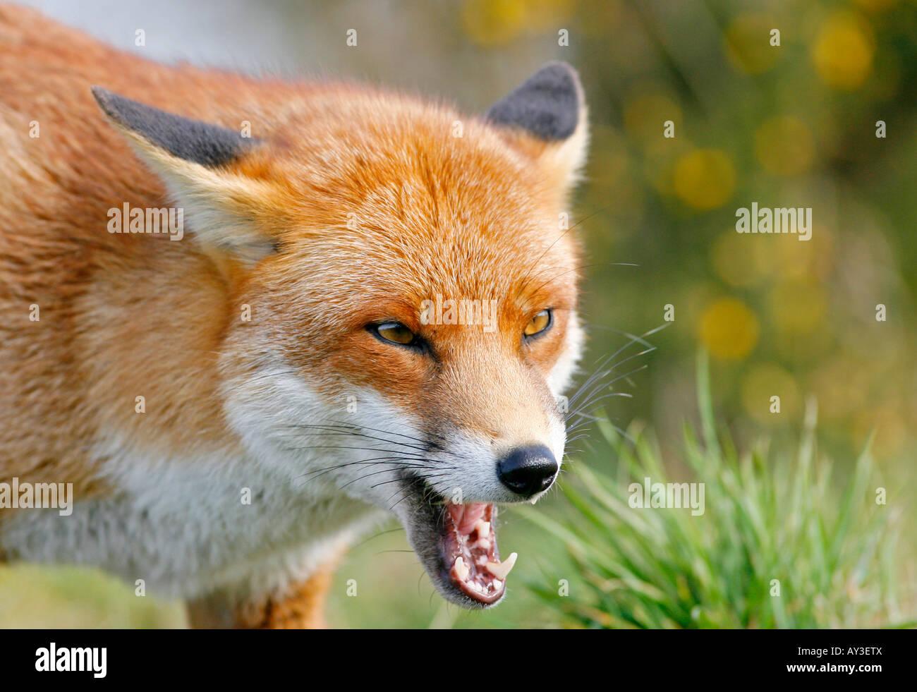 Red fox vulpes vulpes baring its teeth Stock Photo