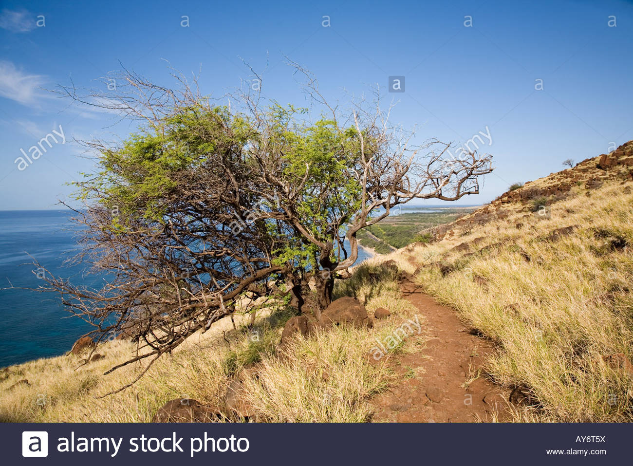 kiawe-tree-on-lahaina-pali-trail-in-the-