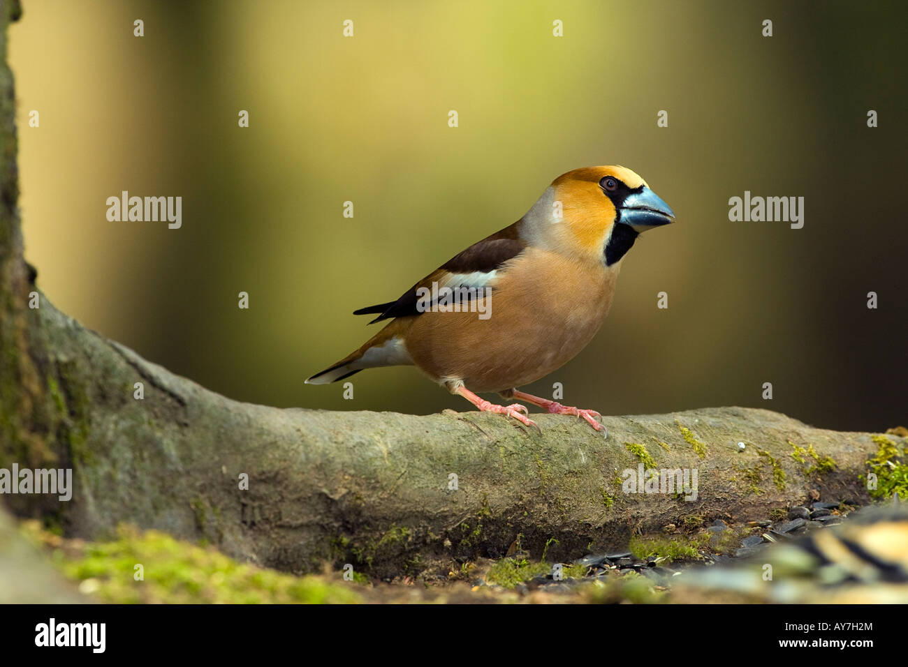 HAWFINCH Coccothraustes coccothraustes - Stock Image