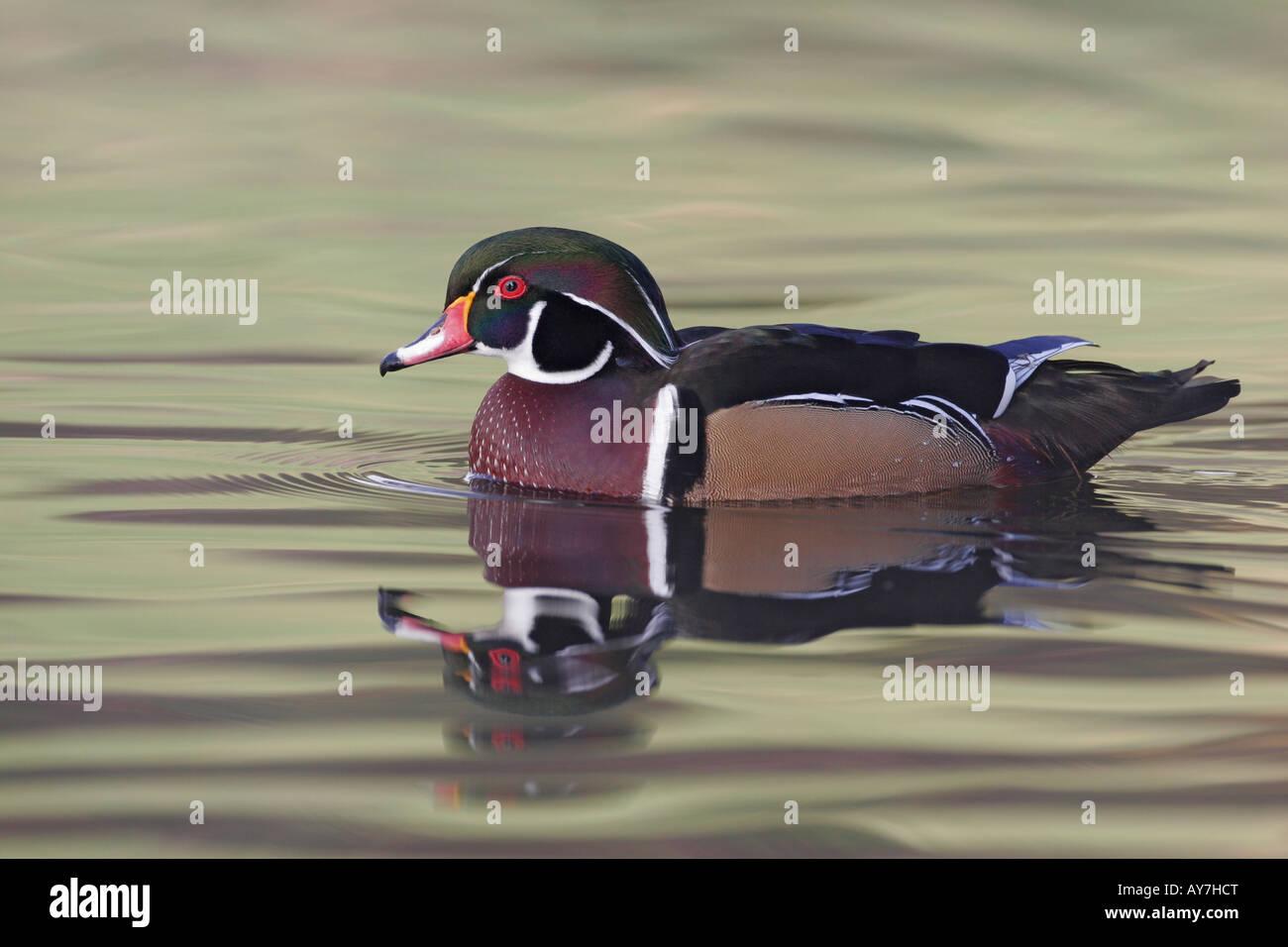 A male wood duck swimming, San Diego, California, USA - Stock Image