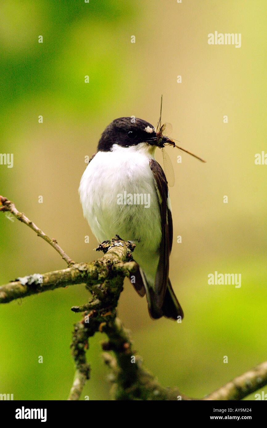 Pied Flycatcher with Damselfly Prey - Stock Image