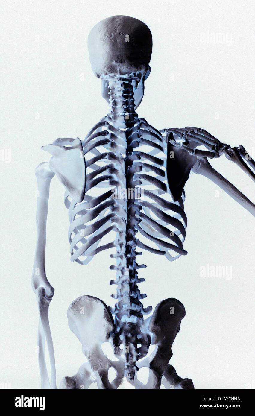 Rear view of a human skeleton showing the vertebrae back bone and ...