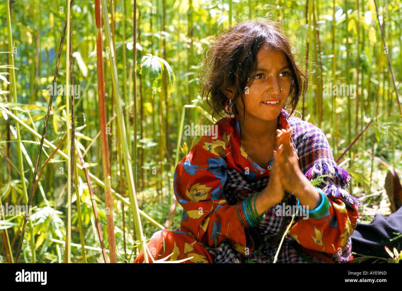 India Himachel Pradesh 1998 A young woman from Malana village rubs cannabis plants to extract the resin to make Stock Photo