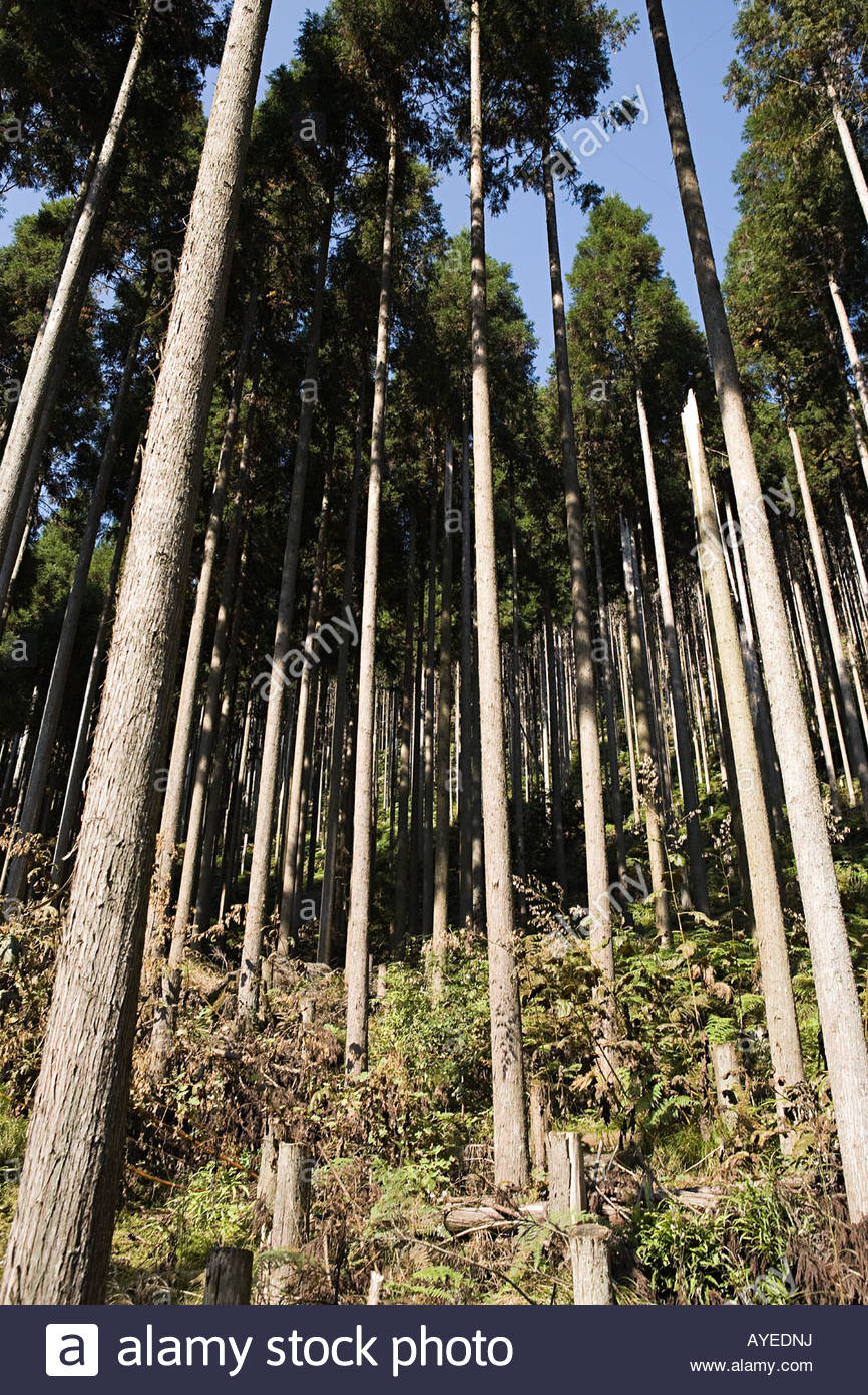 Forest of tall trees - Stock Image