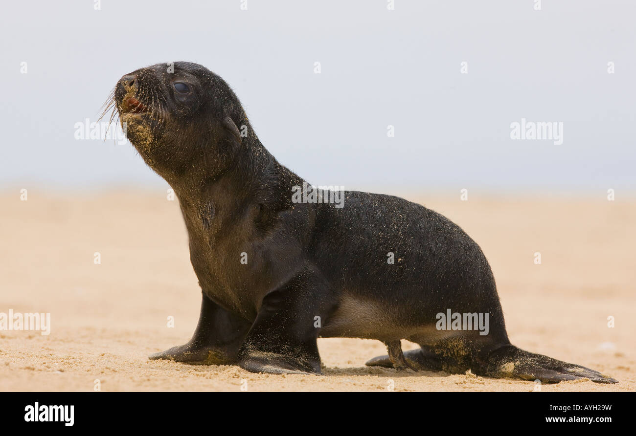 Close up of baby South African Fur Seal, Namibia, Africa - Stock Image