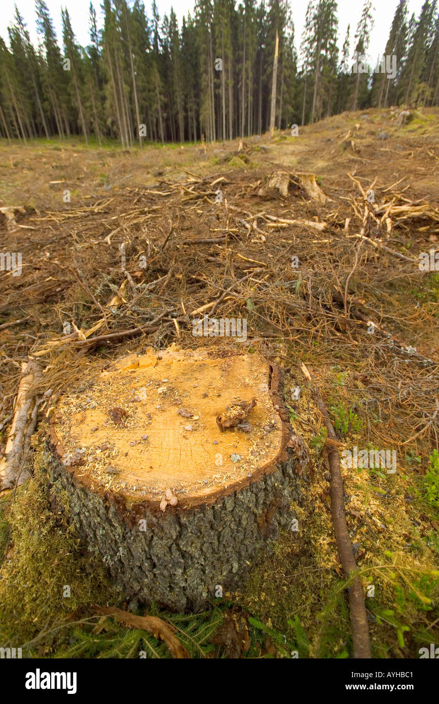 Logged Forest near Torsby in Varmland County Sweden - Stock Image