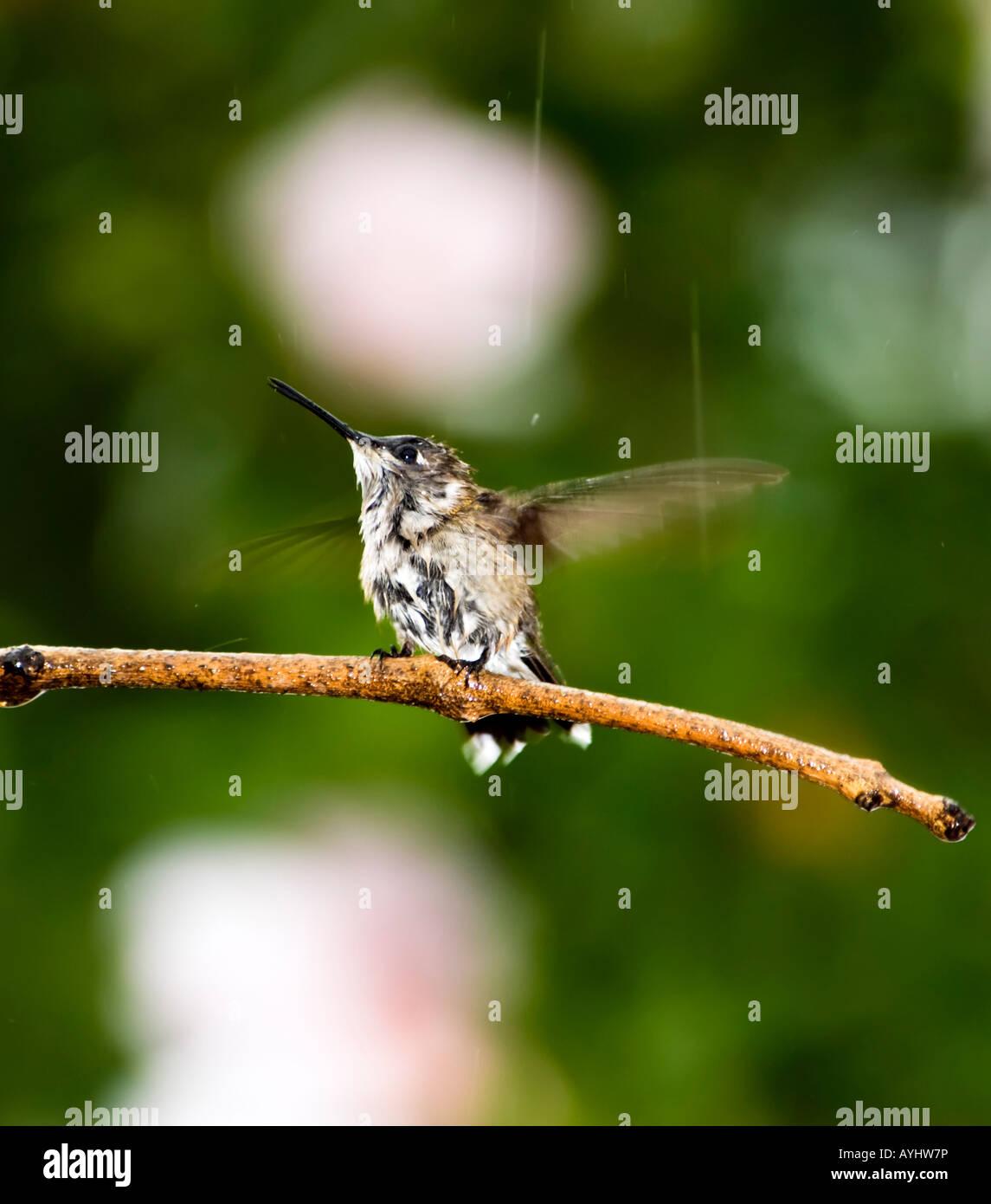 a-female-ruby-throated-hummingbird-archo