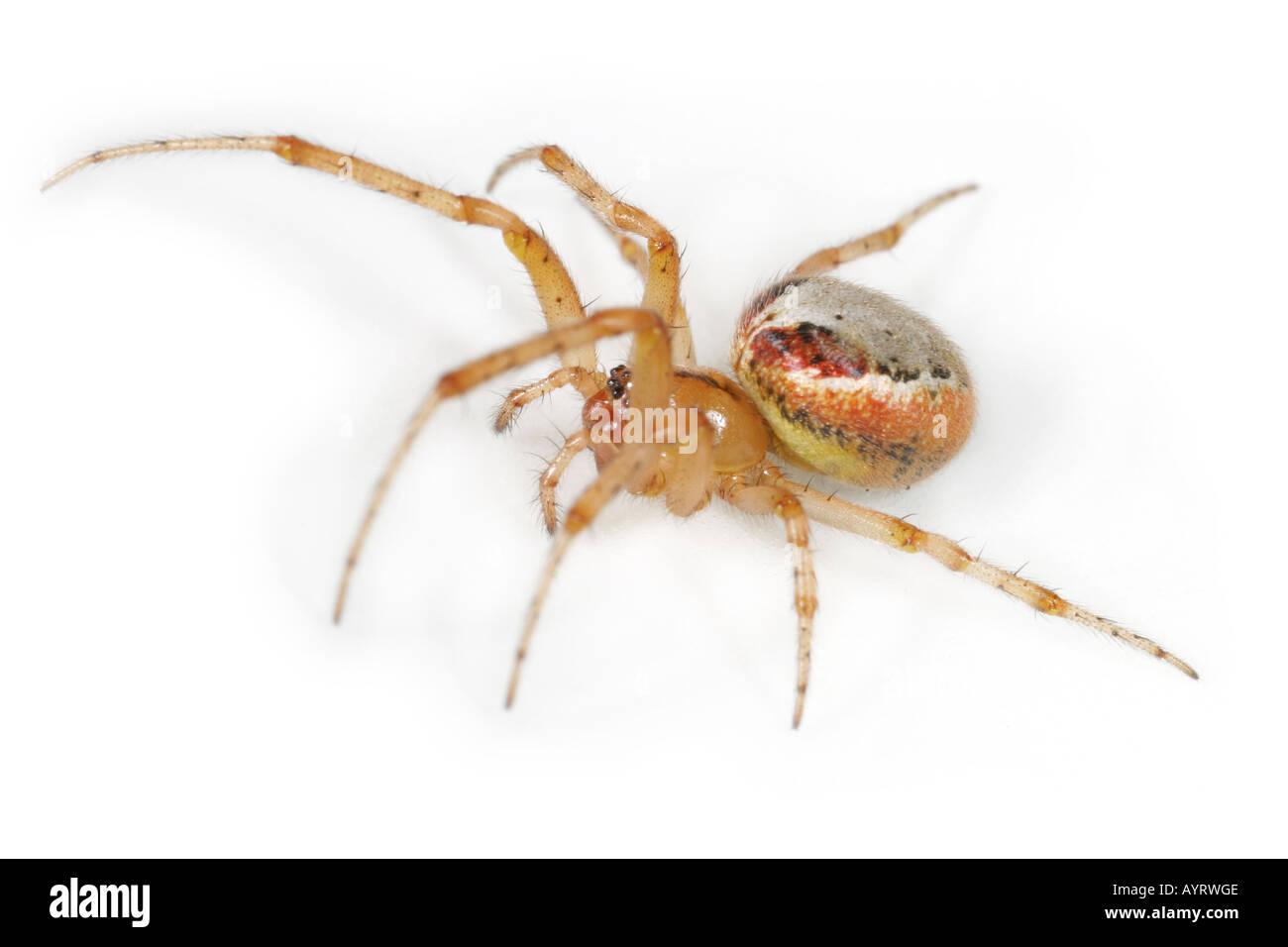 Zygiella Atrica spider on white background Stock Photo