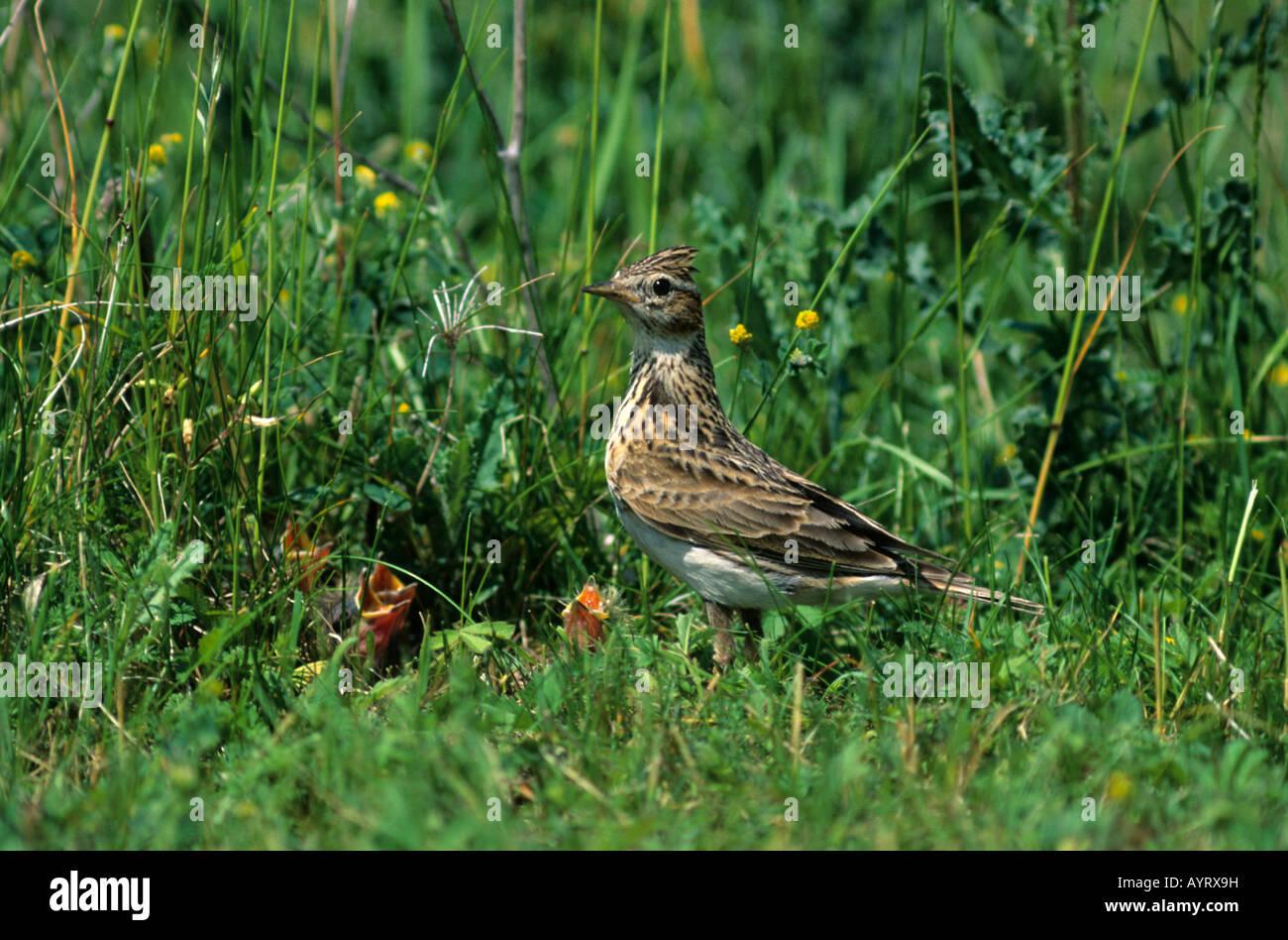 Skylark (Alauda arvensis), Lark family, young in nest - Stock Image