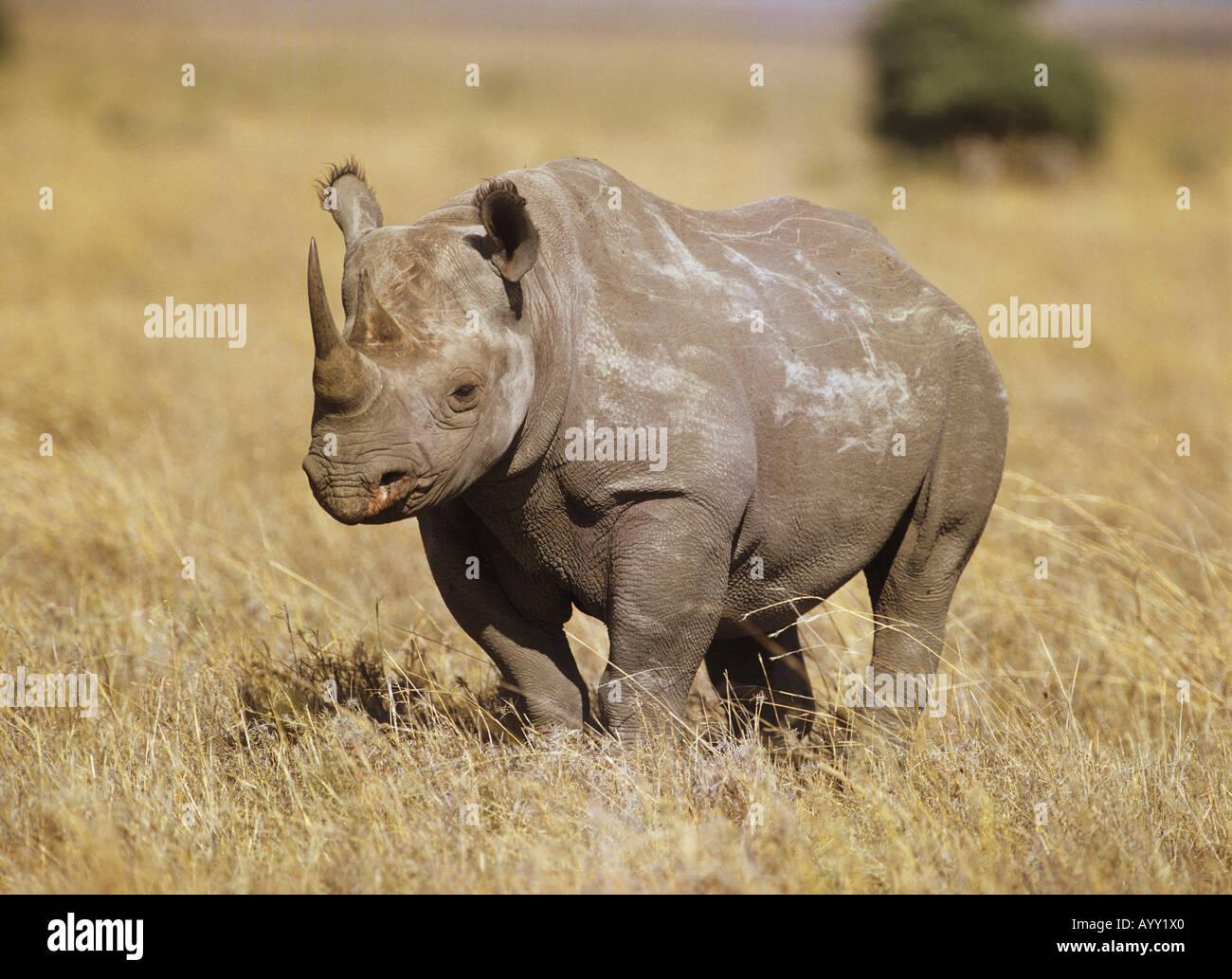 black rhino (Diceros bicornis) standingin dry grass - Stock Image