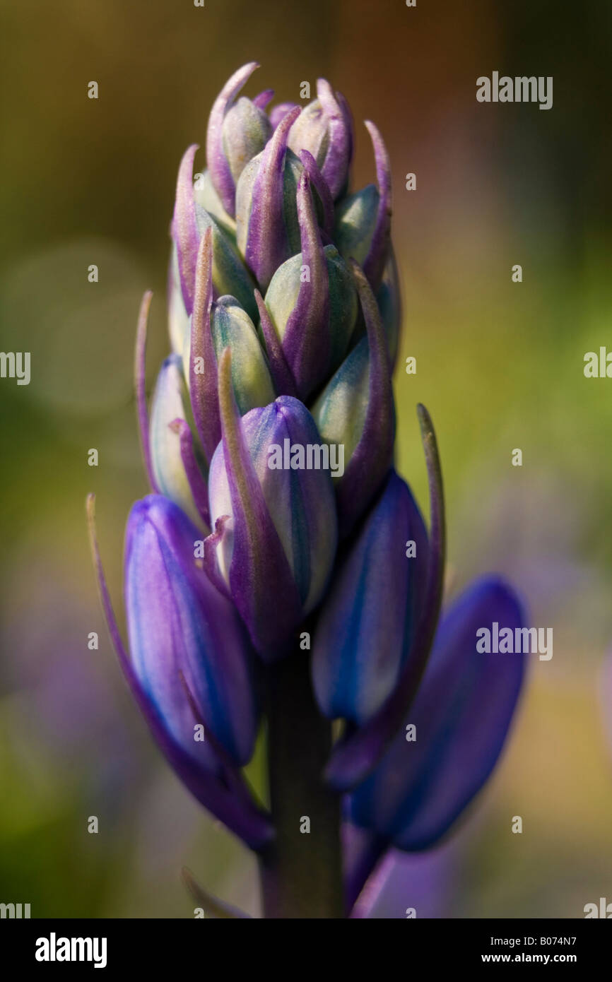 hyacinthaceae hyacinthoides hispanica fausse jacinthe d'espagne Stock Photo